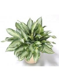Aglaonema foglia verde