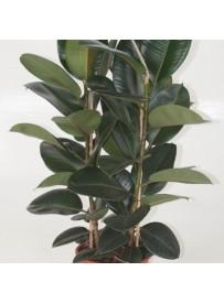 Ficus del caucciù(ficus...