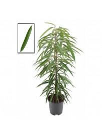 Ficus binnendikii alii