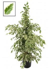 Ficus benamino twilights