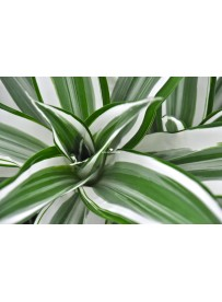 Dracena white stripe