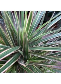 Dracena marginata bicolor