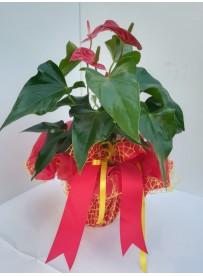 Anthurium Red CONFEZIONE...