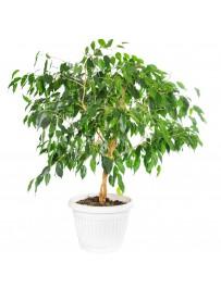 Ficus benamino danielle
