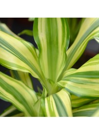 Dracena fragrans golden coast